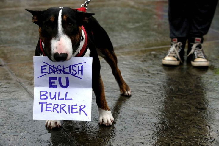 Le bull terrier anglais devient le bull terrier Union Européenne. On adoooore.