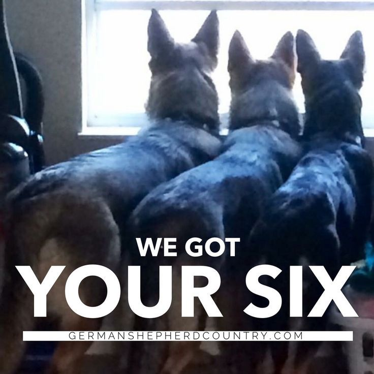 One thing you don't worry about as a German shepherd's human...unexpected visitors!