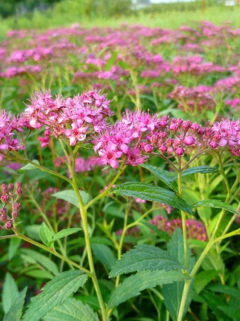 "Spiraea japonica ""Bumalda"" - #Japanese #meadowswee - #espirea de #Japón - Japanse #spierstruik - #flower #pink #green #nature #plants #ourwork #garden #leaves #grass #jardin #vert #nursery #vivaio #viverb #baumshule  Click on the pic for more information!"