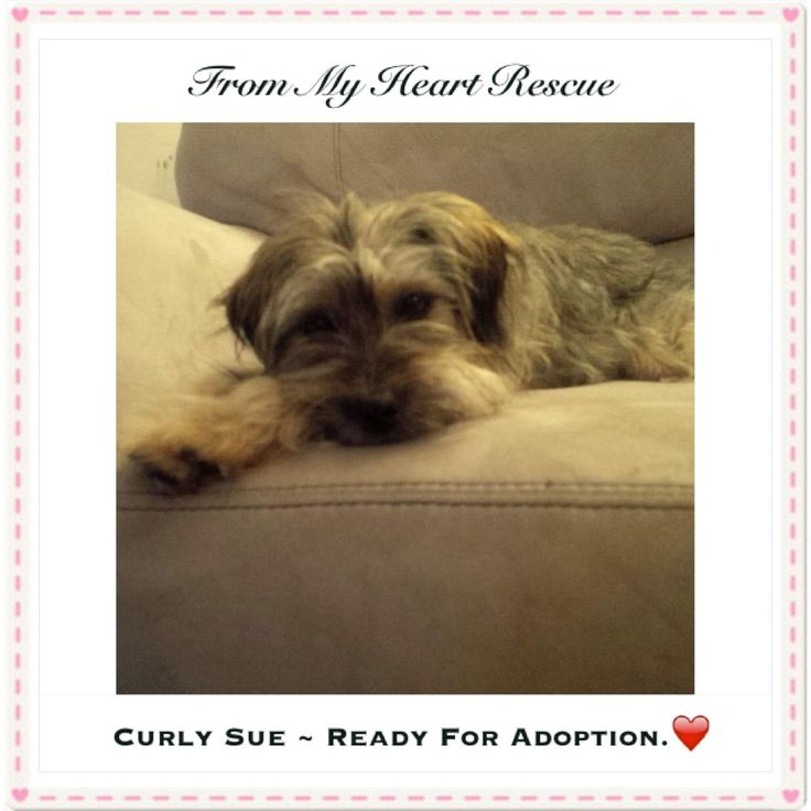 #Please ❤️+ #PIN #FMHR #FromMyHeartRescue #RescueWithoutBorders #SavingOneDogAtaTime ~ #CurlySue #Is #Ready #For #Adoption *Thank you *Info, Foster, Adoption, PayPal & e-transfer: frommyheartrescue@hotmail.com *Our Vets: Brock St. Animal Hospital 905-430-2644 *Fundraising & Volunteering: FMHRfundraising@hotmail.com *www.frommyheartrescue.com *www.petfinder.com/shelters/ON441.html *Find us on; Facebook, Twitter, Instagram, YouTube & Google+