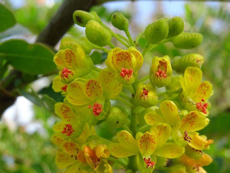 Caesalpinia spinosa - Tara