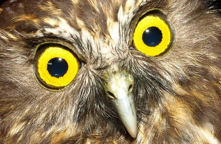 Morepork NZ Owl also called Ruru. What a lovely soothing call this afternoon. Rare for me and usually only sing at night.