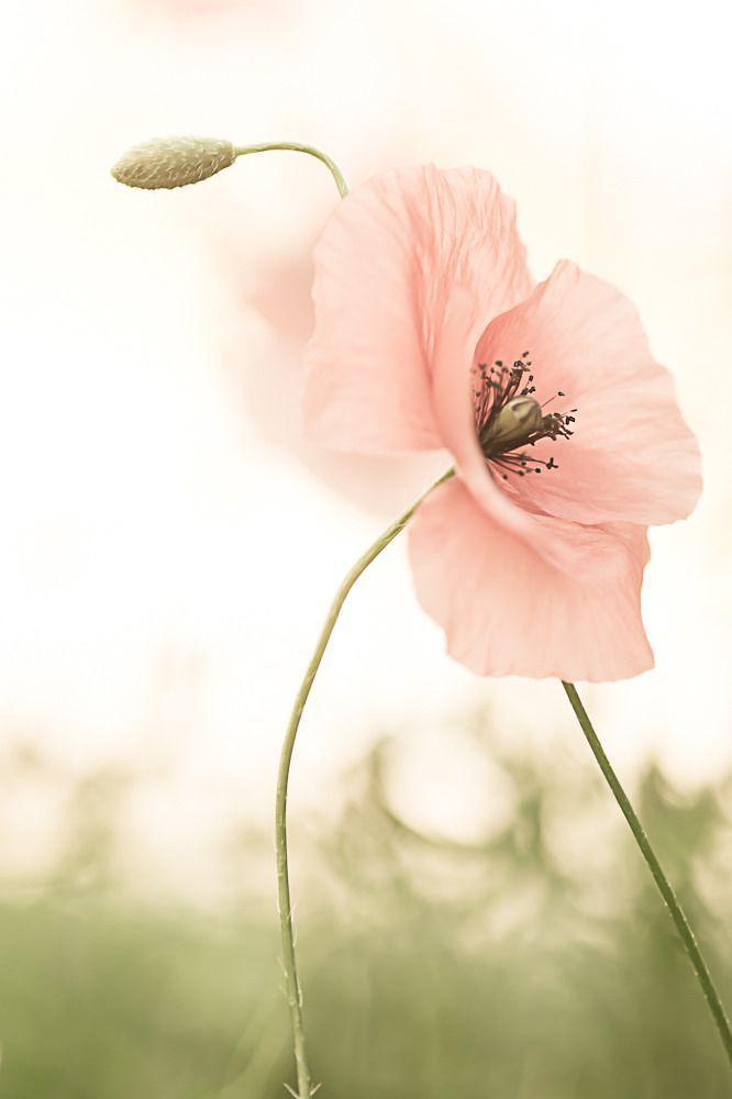 Weiche rosa Blume gegen den weißen Hintergrund #gorgeous