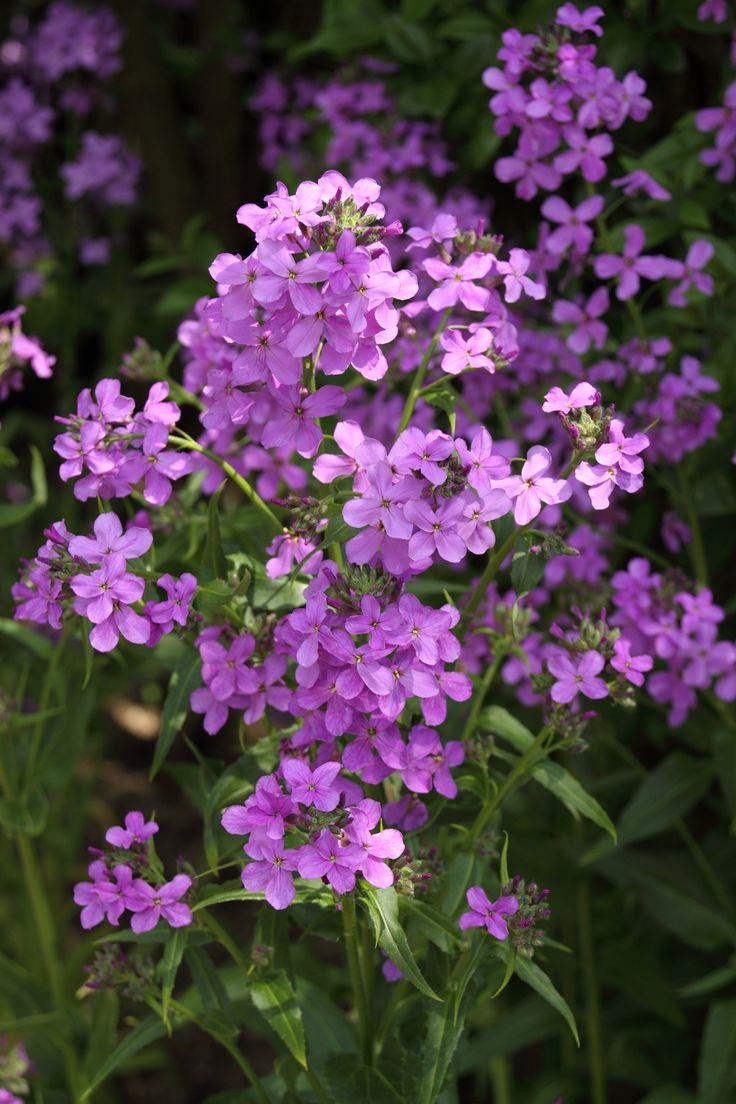 Hesperis matronalis...in bloom in my garden 4-23-16