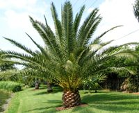 Date Palm in a pineapple cut... I need one of these in my yard if I am to move back to florida