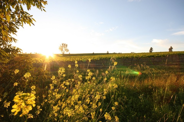 Sunrise in the Taylors Clare Valley Vineyard.