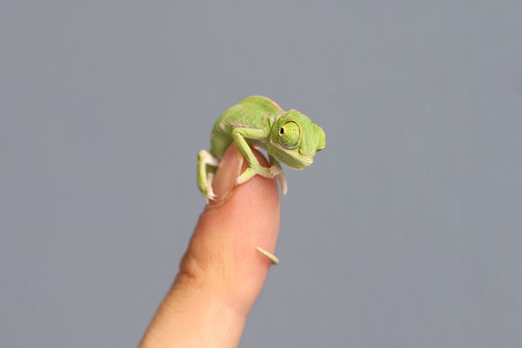 Taronga Zoo in Sydney, Australia, just welcomed more than 20 baby Veiled Chameleons to the zoo's family recently. The hatchlings, native to Yemen and Saudi Arabia, measure just 5 centimeters long and are the first born at the zoo in over five years, according to a press release from Taronga.