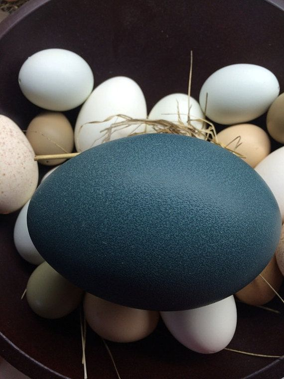 Emu Egg Eggs For Pysanka Pysanky Etching Carving by PysankyByDonna