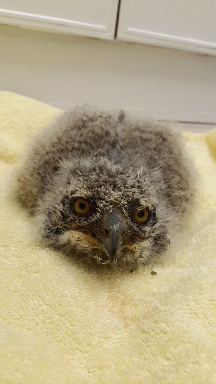 Baby Spotted-eagle Owl who will be appearing in the show in March 2015
