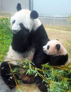 生後140日を迎えたシャンシャンと母親のシンシン(10月30日、東京動物園協会提供)pandas