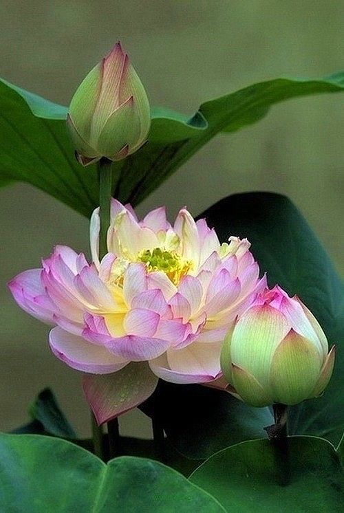 Lotus; Nelumbo is a genus of aquatic plants with large, showy flowers. Members…