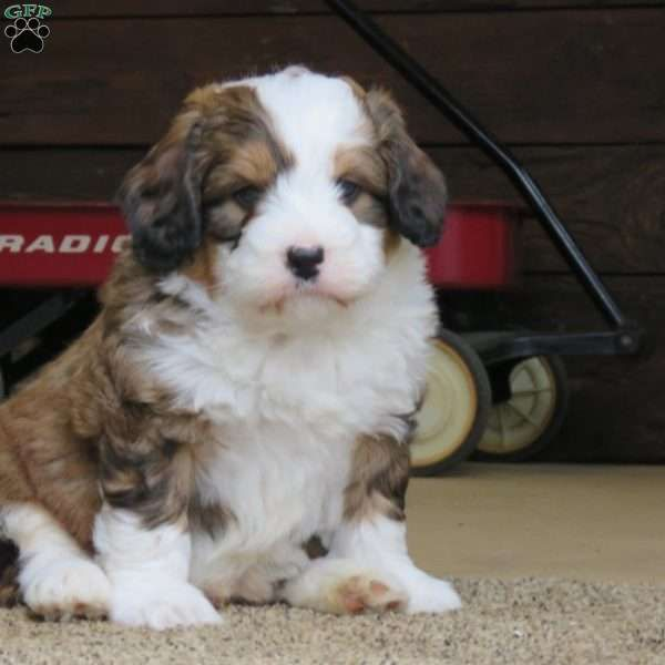 Courage Mini Bernedoodle Puppy For Sale In Pennsylvania In 2020 With Images Bernedoodle Puppy Mini Bernedoodle Puppies For Sale