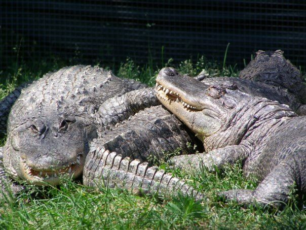 31 Best Images About Alligators Crocodiles Caimen And Gharials On Pinterest Gardens The