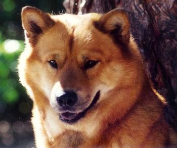 1000+ ideas about Chow Chow Husky Mix on Pinterest | Chow ...  1000+ ideas abo...