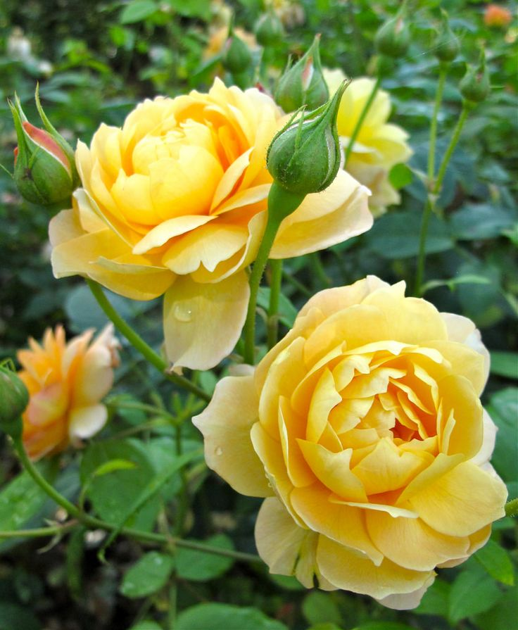 'Yellow Charles Austin' | David Austin English Rose - Austin 1981. | Flickr - @ Susan Rushton
