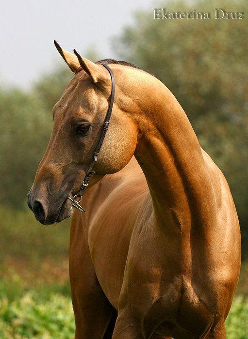Akhal Teke - LOOK at that muscular neck!