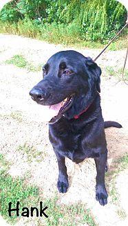 Garden City, MI - Labrador Retriever/Newfoundland Mix. Meet Hank, a dog for adoption. http://www.adoptapet.com/pet/15986049-garden-city-michigan-labrador-retriever-mix