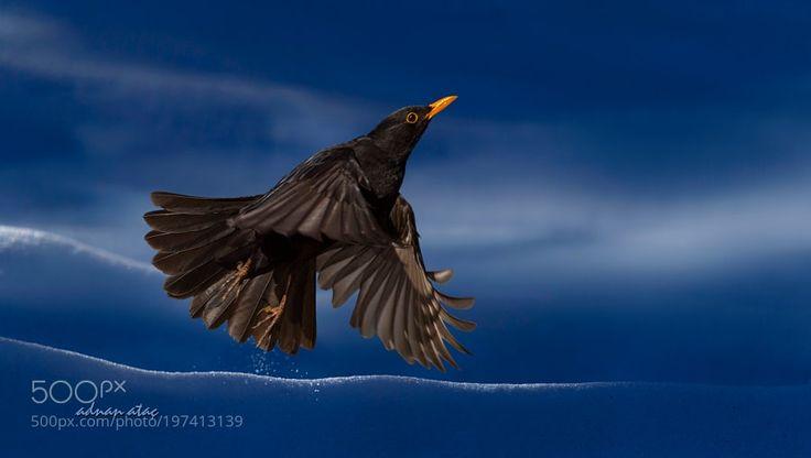 Karatavuk - Common Blackbird - Turdus merula by aatac via http://ift.tt/2k40a7K