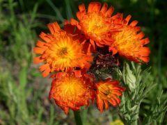 Hieracium aurantiacum - jestřábník oranžový Zahradnictví Krulichovi - zahradnictví, květinářství, trvalky, skalničky, bylinky a koření