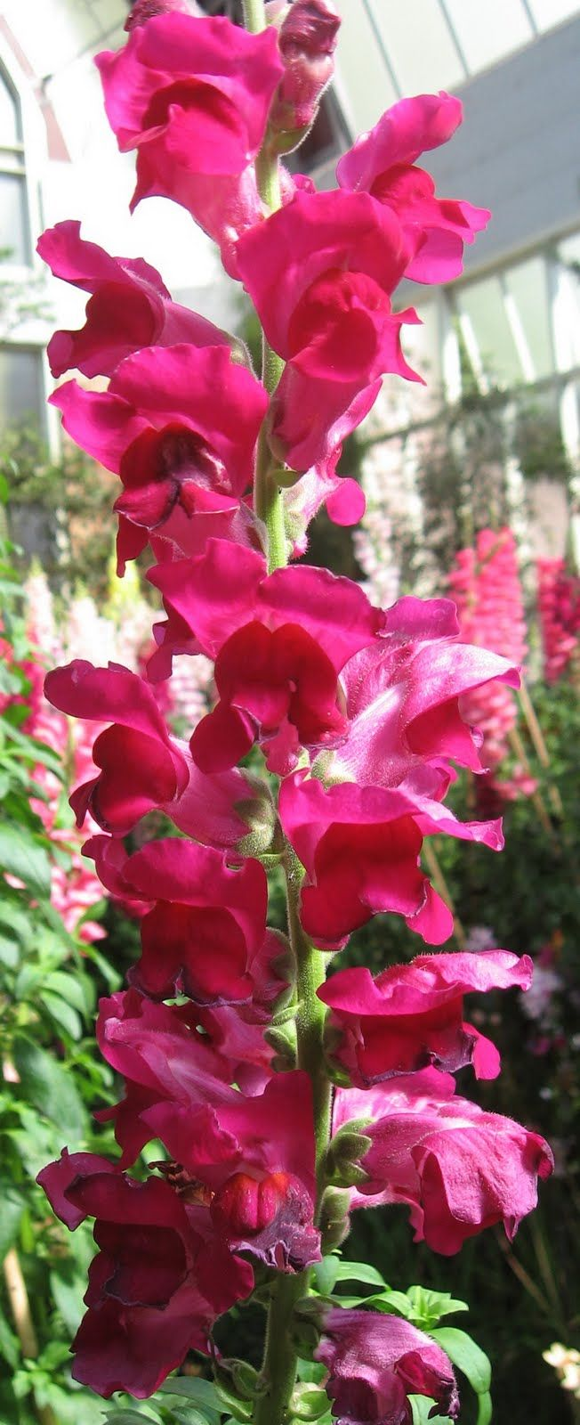 104 best Snap Dragon\'s images by Bianca Stewart on Pinterest ...