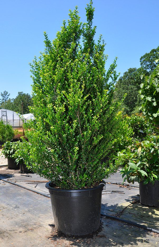 39 steeds 39 holly ilex crenata 39 steeds 39 useful as a for Tall evergreen shrubs