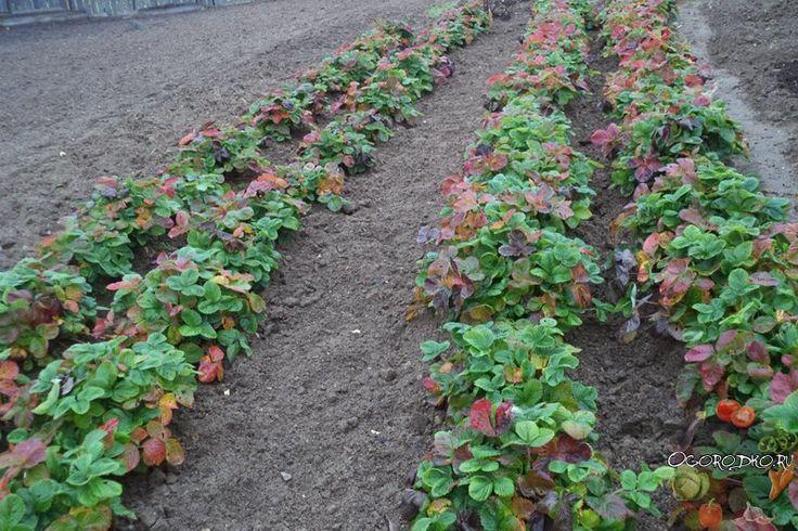 Как происходит уход за клубникой после сбора урожая в июле, августе, сентябре, октябре? Как обрезать клубнику, чем подкормить и когда, что делать летом и осенью