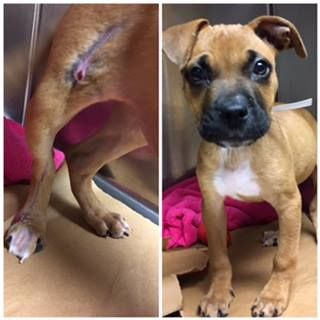 NAME: Lady  ANIMAL ID: 33776258 BREED: Boxer mix  SEX: female(spayed)  EST. AGE: 8 wks  Est Weight: 7.2 lbs  Health: BAR, ambulatory X4 bu tlimping right hind. Healing abrasions on lateral aspect of stifle and paw. Radiographs reveal no fractures. Temperament: dog friendly, people friendly  ADDITIONAL INFO:  RESCUE PULL FEE: Sponsored  Intake date: 10/19  Available: Now