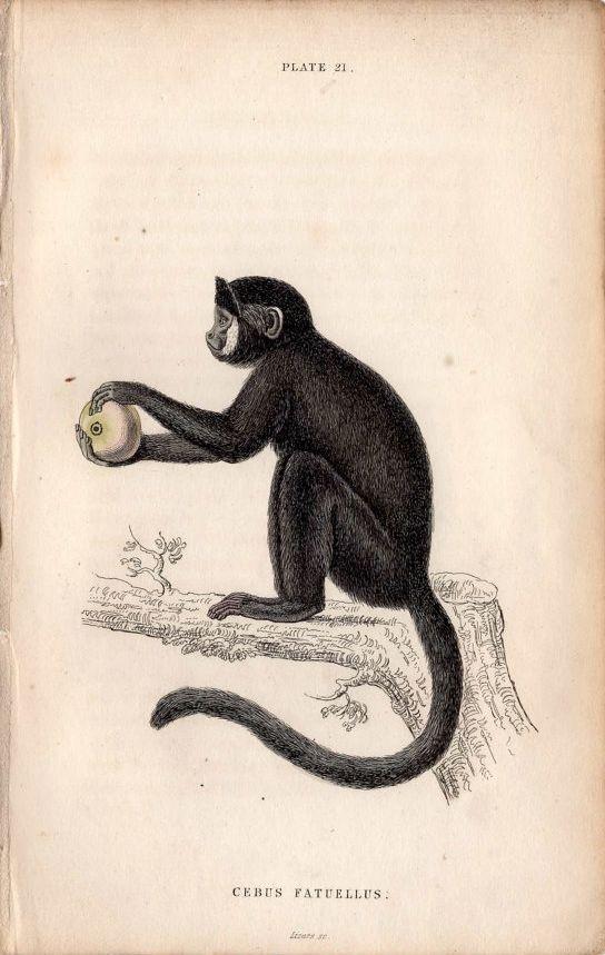 Vintage Monkey Illustration