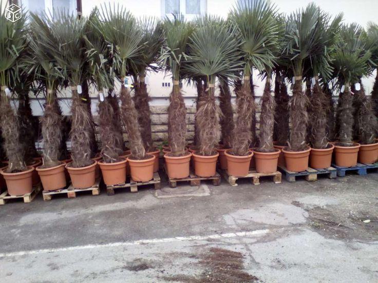 Palmier trachycarpus fortunei 120€ 200cm