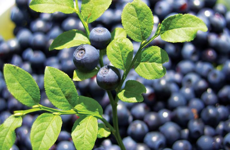 Why bilberries are healthy