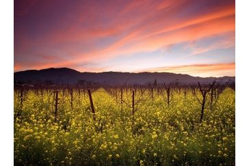Sunset and Wild Mustard, Napa Valley Vineyards, California Wallpaper