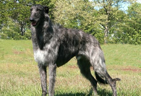 Scottish Deerhound.  I think this will be my new dog.  (Not sure how soon I will get him or her, but I think this will be my new dog.)