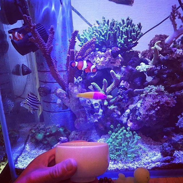 【hide414】さんのInstagramをピンしています。 《湯飲みで乾杯。 #日本酒#七賢#山梨県#地酒#湯飲み#珊瑚水槽#海水水槽#カクレクマノミ#ニモ#アクアリウム#マリンリウム》
