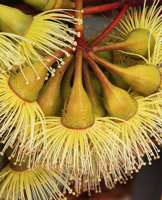 Eucalyptus Pimpiniana by Georgie Sharp, via Flickr