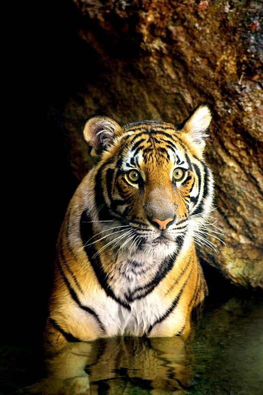 Wat zou het toch ongelooflijk zonde zijn als wilde tijgers alleen nog maar op plaatjes te zien zouden zijn #savethetiger http://www.stichtingspots.nl/index.php?page=415