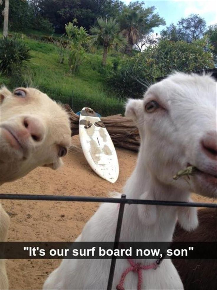 It's our surf board now, son. lol gotta love goats! Funny Animal Pictures Of The Day – 20 Pics