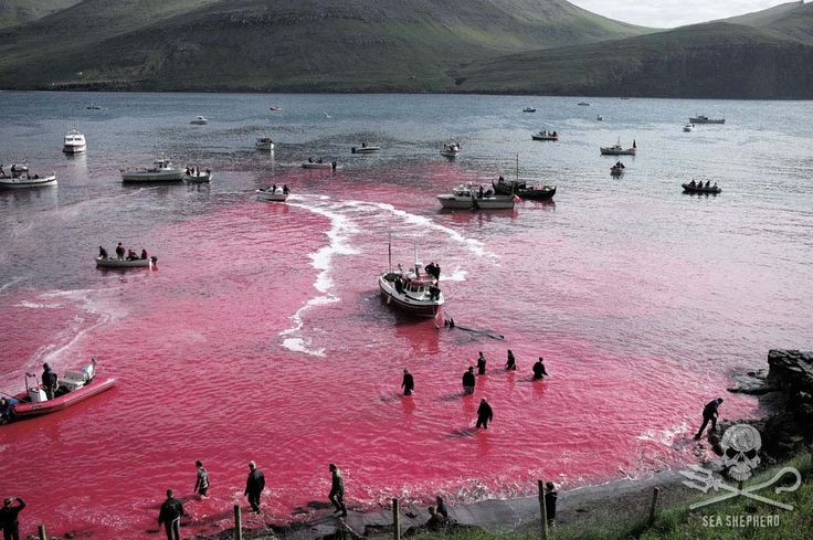 The Murder of the Whales, Courtesy of the Royal Danish Navy Commentary by Sea Shepherd Founder, Captain Paul Watson.The blood seeps through the fjord. Photo: Mayk Wendt / Sea Shepherd
