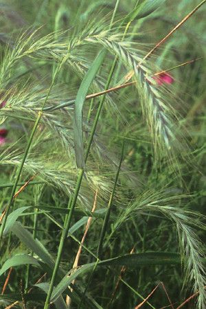 34 best native grasses and sedges images on pinterest for Wild grass gardens