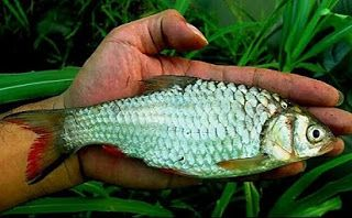 ampuh,Cara Jitu Memancing Ikan,Cara Membuat Umpan Jitu,Ikan Kepek,Jeis Tawes Kepek,Kepek,Kepekan,Macam-macam Teknik Mancing,Mancing Ikan Kepek,rahasia umpan,Rawa dan Sungai,resep umpan,Wader,