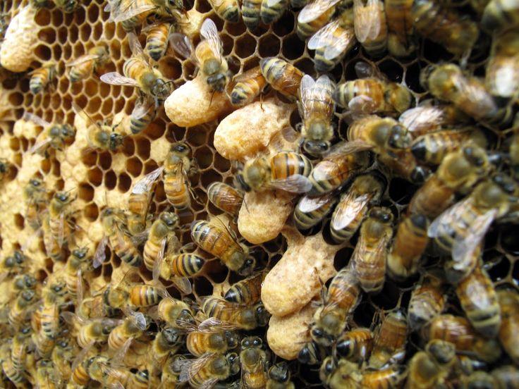 Ορεινή Μέλισσα: Μέθοδος ΧΑΛΚΙΑ... για 400 κιλά μέλι από 11 μελίσσια! (Έξυπνοι χειρισμοί-Περισσότερα μέλια)