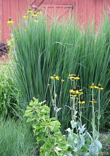 12 best images about garden grass panicum northwinds on for Tall thin ornamental grasses