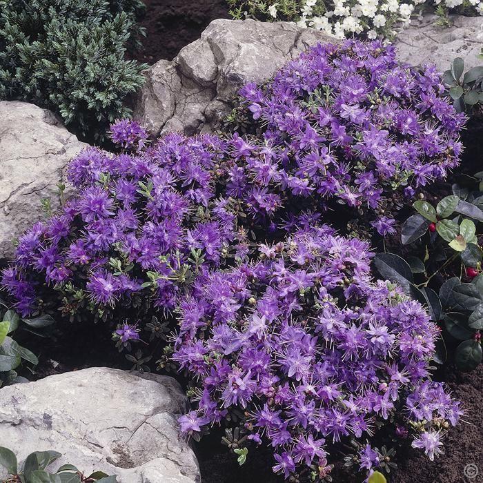 Rhododendron impeditum - 1 strauch Bestellen Sie schnell und bequem online