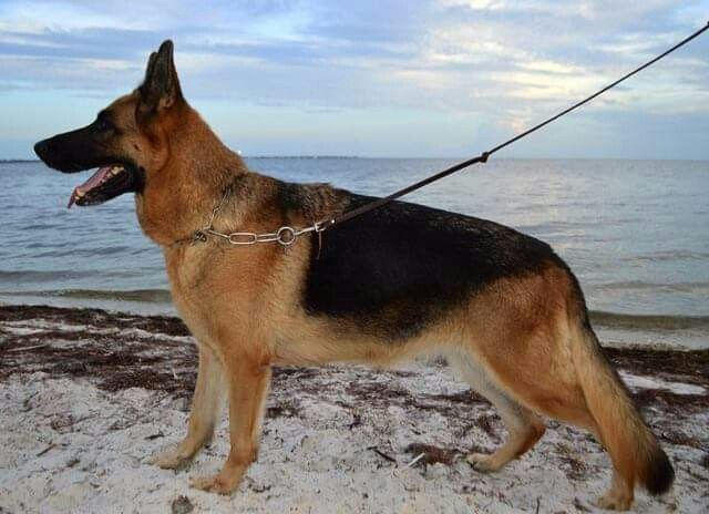 Pin By Velizara On German Showline Gsds Dogs Dog Cat German Shepherd