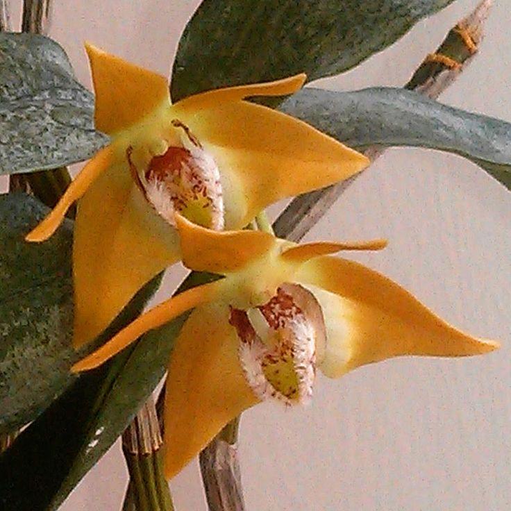 Dendrobium flekeri