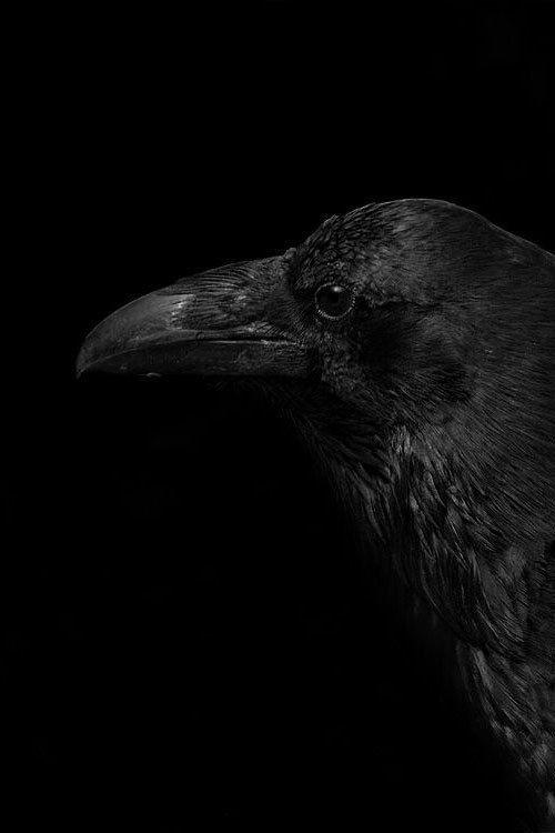 картинки черного ворона черно белые единственный