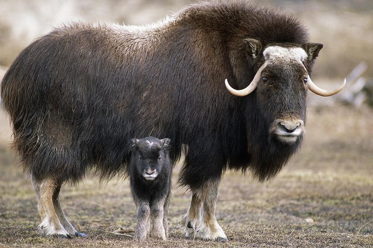 Musk ox calf and mother 1