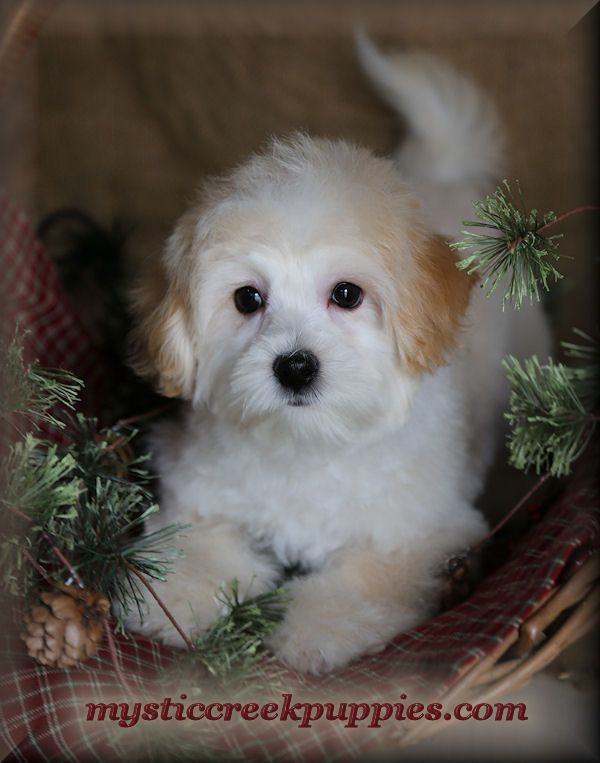 Available Maltepoo Or Maltipoo Puppies For Sale From Mystic Creek In 2020 Puppies For Sale Labradoodle Puppy Cute Puppies Images