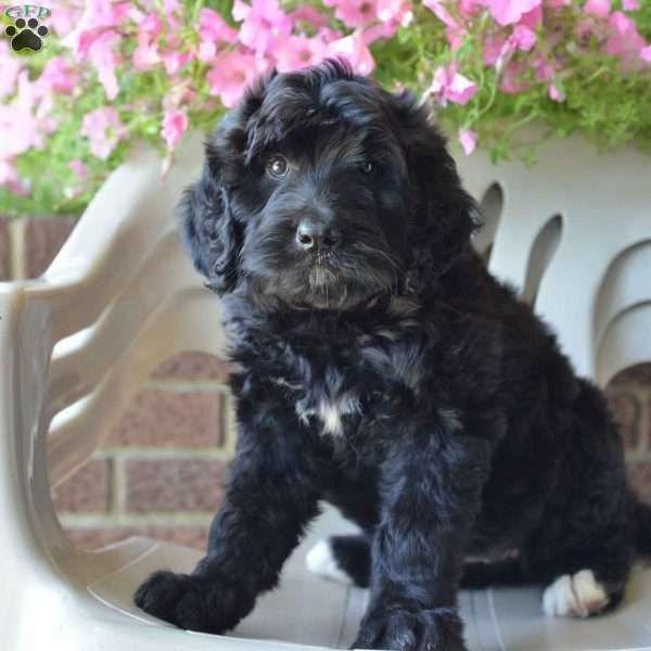 Lizzy Bernedoodle Puppy For Sale In Ohio Bernedoodle Puppy Bernedoodle Puppies For Sale