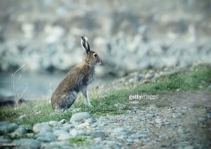 Stock Photo : Wild hare sitting on a coast of river on Altai by Oksana Ariskina on @gettyimages. #OksanaAriskina #gettyimages #gettyimagescreative  #getty #gettycreative #gettyimagesnew #Rabbit #Nature #Summer #hare #wildanimals #Altay