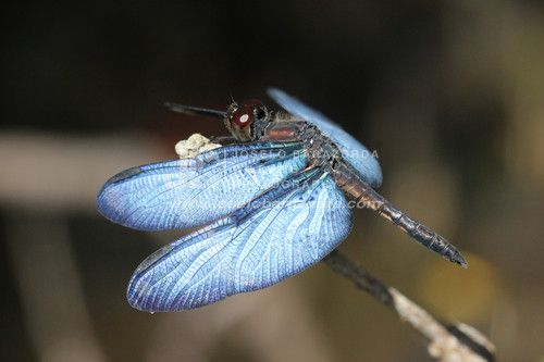 Bluewing Rainforest Dragonfly 1